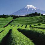 Tajna biljke čaja