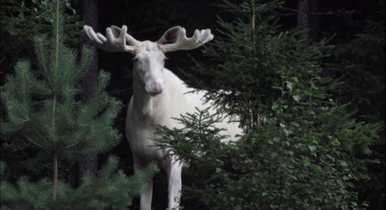 Bijeli los snimljen u Švedskoj