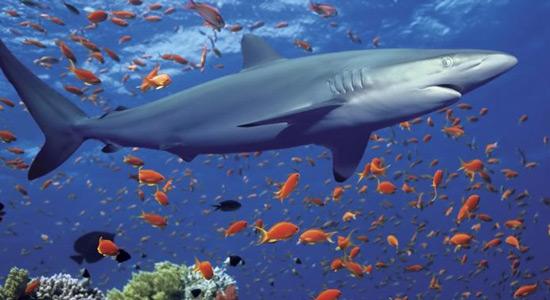 Velika bijala morska psina u zatočeništvu