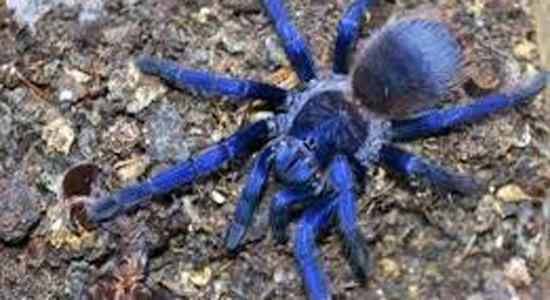 Tarantule - otkrivena nova vrsta