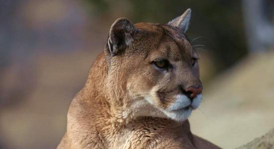 Istočno - američka puma proglašena izumrlom vrstom