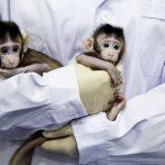U Kini klonirani majmuni