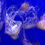 Hrana budućnosti - meduze