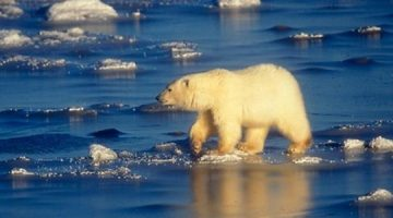Utjecaj klimatskih promjena na polarne medvjede