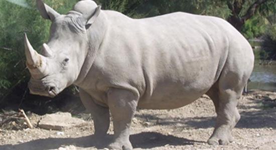 Izumiranje sjevernog bijelog nosoroga