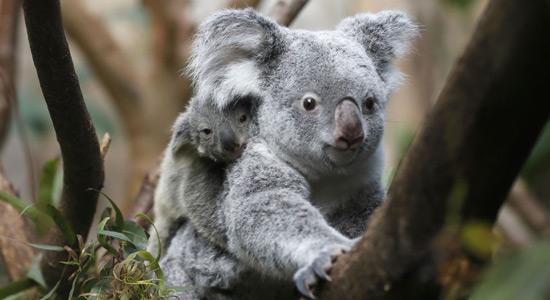 Najpoznatiji tobolčari - koale
