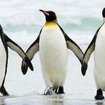 Hoće li kraljevski pingvini nestati?