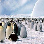 Najveće okupljalište pingvina