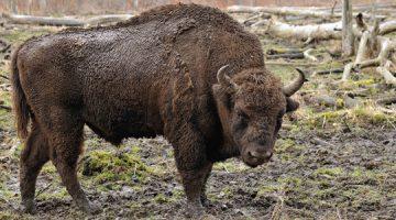 Europski bizon