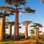 Avenija baobaba