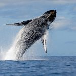Čuda prirode - kitovi