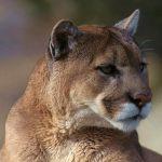 Istočno-američka puma proglašena izumrlom vrstom