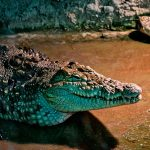 Nova vrsta krokodila
