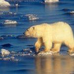 Utjecaj otapanja ledenjaka na polarne medvjede