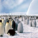 Ugroženi pingvini s otoka Zavodovski
