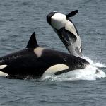 Obiteljski život kitova ubojica