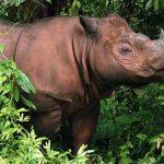 Iman – posljednja ženka sumatranskog nosoroga u Maleziji